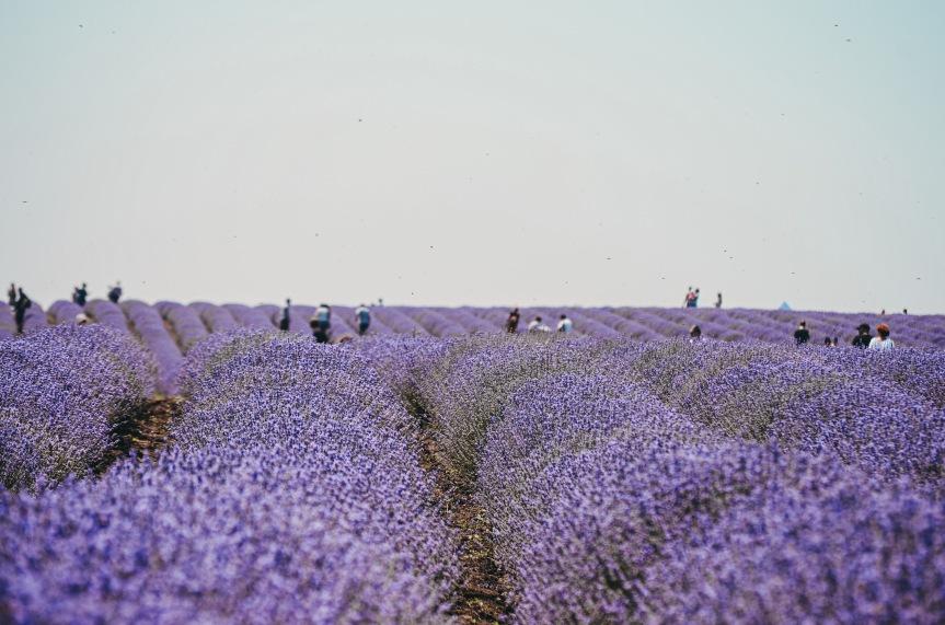 Lavender Fields & BeeStings